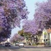 The Annual Late May/Early June Purple Flower Explosion In Pasadena Begins