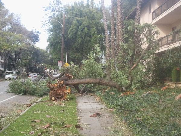 tree-fallen-wilson-ave